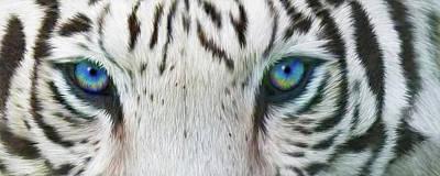 Tiger Mixed Media - Wild Eyes - White Tiger by Carol Cavalaris