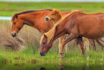 Wild Horses Of Assateague Island Print by Rick Berk