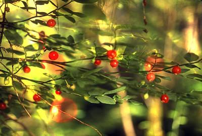 Wild Huckleberries On The Bush Print by Lyle Leduc