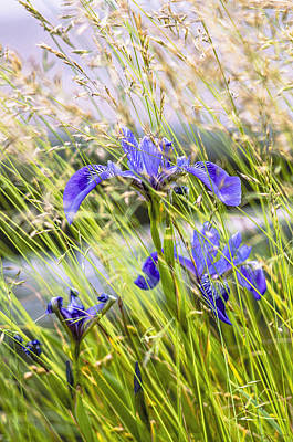 Coastal Maine Photograph - Wild Irises by Marty Saccone