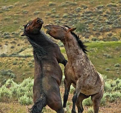 Wild Horse Photograph - Wild Mustang Stallions Fighting by Waterdancer