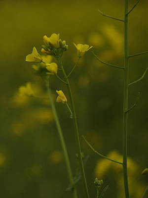 Photograph - Wild Mustard by Bill Gallagher