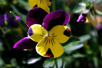 Mental Imagery Photograph - Wild Pansy by Don  Wright