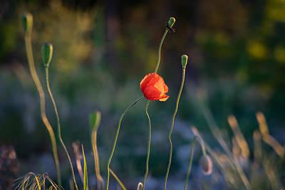 Riddler Photograph - Wild Poppies By Ian Riddler by Ian Riddler