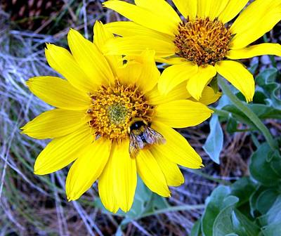 Wild Sunflowers And Bee Print by Will Borden