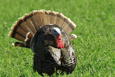 Wild Turkey Photograph - Wild Turkey Gobbler by Jeff Swan