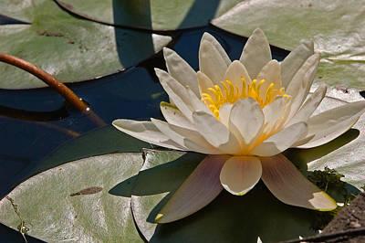 New Jersey Pine Barrens Photograph - Wild Water Lilies by Louis Dallara