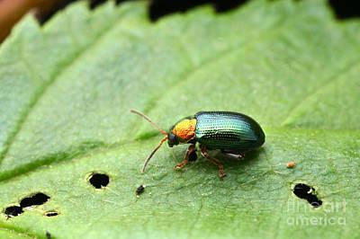 Gnaw Photograph - Willow Flea Beetle by Matthias Lenke