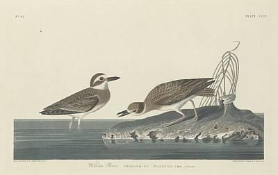 Plovers Drawing - Wilson's Plover by John James Audubon