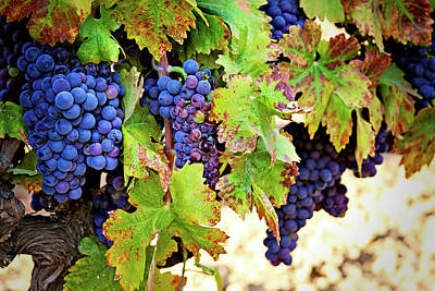Purple Grapes Digital Art - Wine Country - Napa Valley California Photography by Melanie Alexandra Price