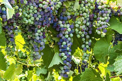 Wine Grape Colors Print by Teri Virbickis