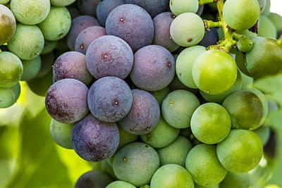 Wine Grapes Close Up Print by Teri Virbickis