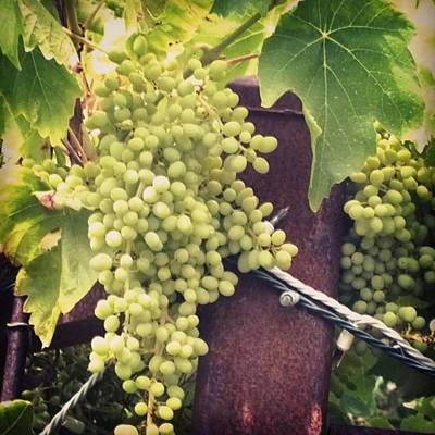 Food And Beverage Photograph - #wine On The #vine . Love These Little by Shari Warren