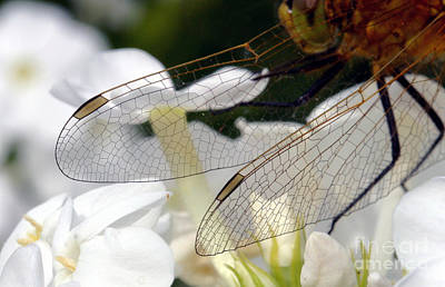 Photograph - Wings On A Dragon by Steve Augustin