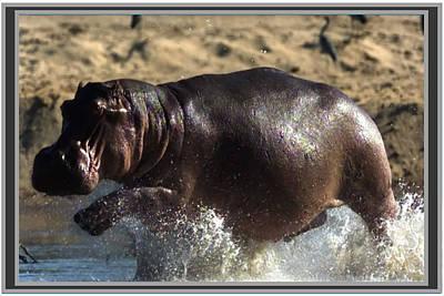 Hippopotamus Mixed Media - Winner Of The Herd Harem Hippopotamus by Navin Joshi
