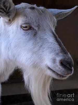 Saanen Goat Photograph - Winsome Goat by Ann Horn
