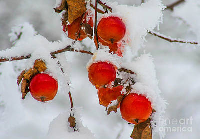 Christmas Photograph - Winter Berries by SnapHound Photography