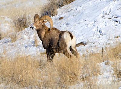 Ram Photograph - Winter Bighorn by Mike Dawson