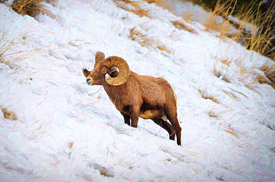 Digital Painting - Winter Bighorn Sheep by Greg Norrell
