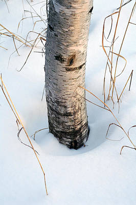 Winter Birch Print by Bill Morgenstern
