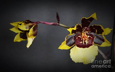 Winter Bloom Orchids 2 Print by Chalet Roome-Rigdon