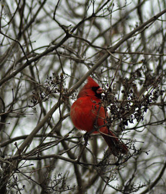 Male Northern Cardinal Photograph - Winter Cardinal 1 by Maria Suhr