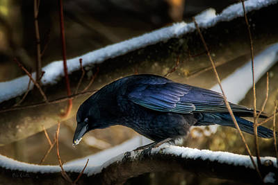 Winter Crow Print by Bob Orsillo