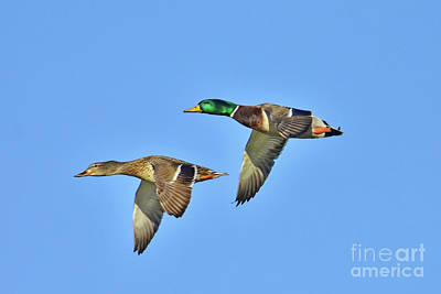 Two Ducks In Flight Photograph - Winter Flight by Gary Walker