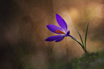 Crocus Photograph - Winter Flower by Edoardo Gobattoni