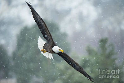 American Bald Eagle Photograph - Winter Hunter by Mike Dawson