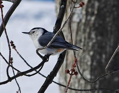 Photograph - Winter Nut Hatch by Al Fritz
