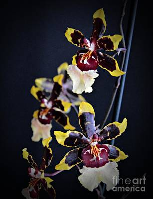 Winter Oncidium Orchid Print by Chalet Roome-Rigdon