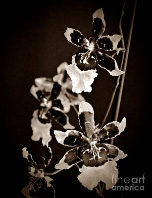 Winter Oncidium Orchid Sepia Print by Chalet Roome-Rigdon