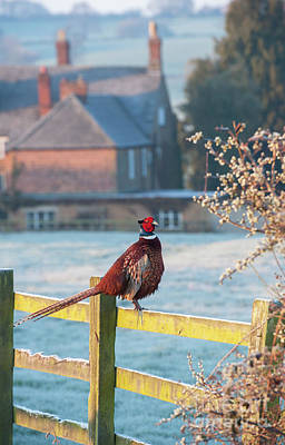 Winter Pheasant Print by Tim Gainey