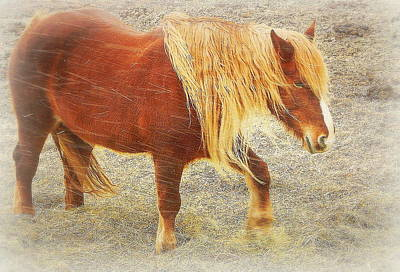 Belgian Draft Horse Photograph - Winter Range by Karen Cook