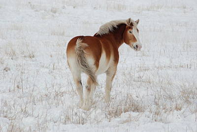 Belgian Draft Horse Photograph - Winter Winds by Wanda Jesfield