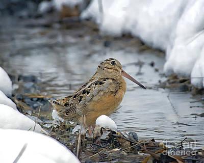Woodcock Photograph - Winter Woodcock by Timothy Flanigan