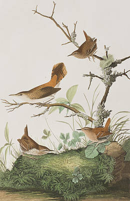 Wren Painting - Winter Wren Or Rock Wren by John James Audubon