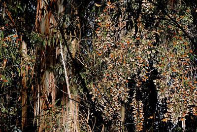 Wintering Monarchs Print by Grace Dillon