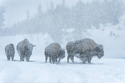 Bison Photograph - Winter's Burden by Sandra Bronstein