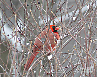 Red Bird Photograph - Winter's Red by Stephanie Forrer-Harbridge