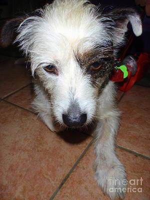 Photograph - Wire Hair Fox Terrier - 2 by Mary Deal