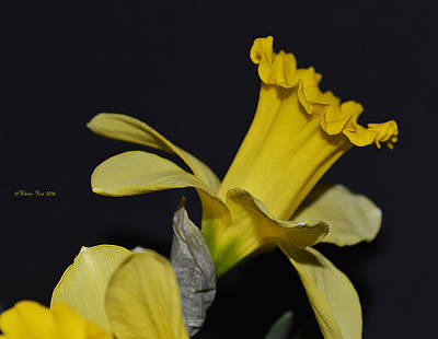Narzisse Photograph - Wish In Yellow by Felicia Tica