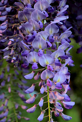 Vines Photograph - Wisteria In Bloom by Jessica Jenney