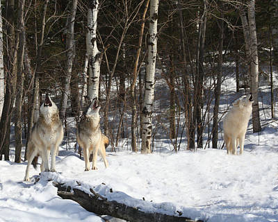 Arctic Wolf Photograph - Wolf Choir by Gerry Sibell