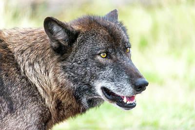 Black. Timber Wolf Photograph - Wolf Closeup View by Jess Kraft