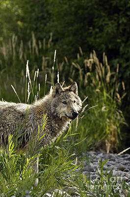 Wolf Photograph - Wolf Glowing In The Sun by Wildlife Fine Art