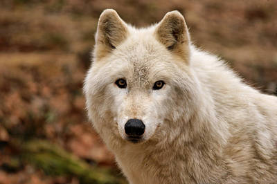 Arctic Wolf Photograph - Wolf Watching by Sandy Keeton