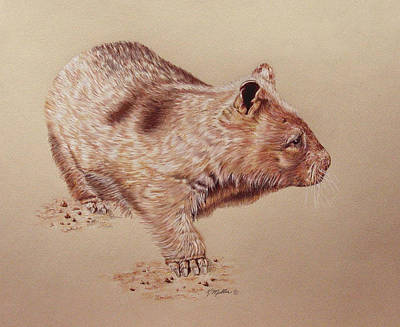 Marsupial Drawing - Wombat by Kathie Miller