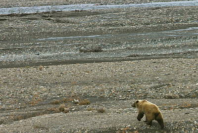 Photograph - Wondering Grizzly by Crystal Magee